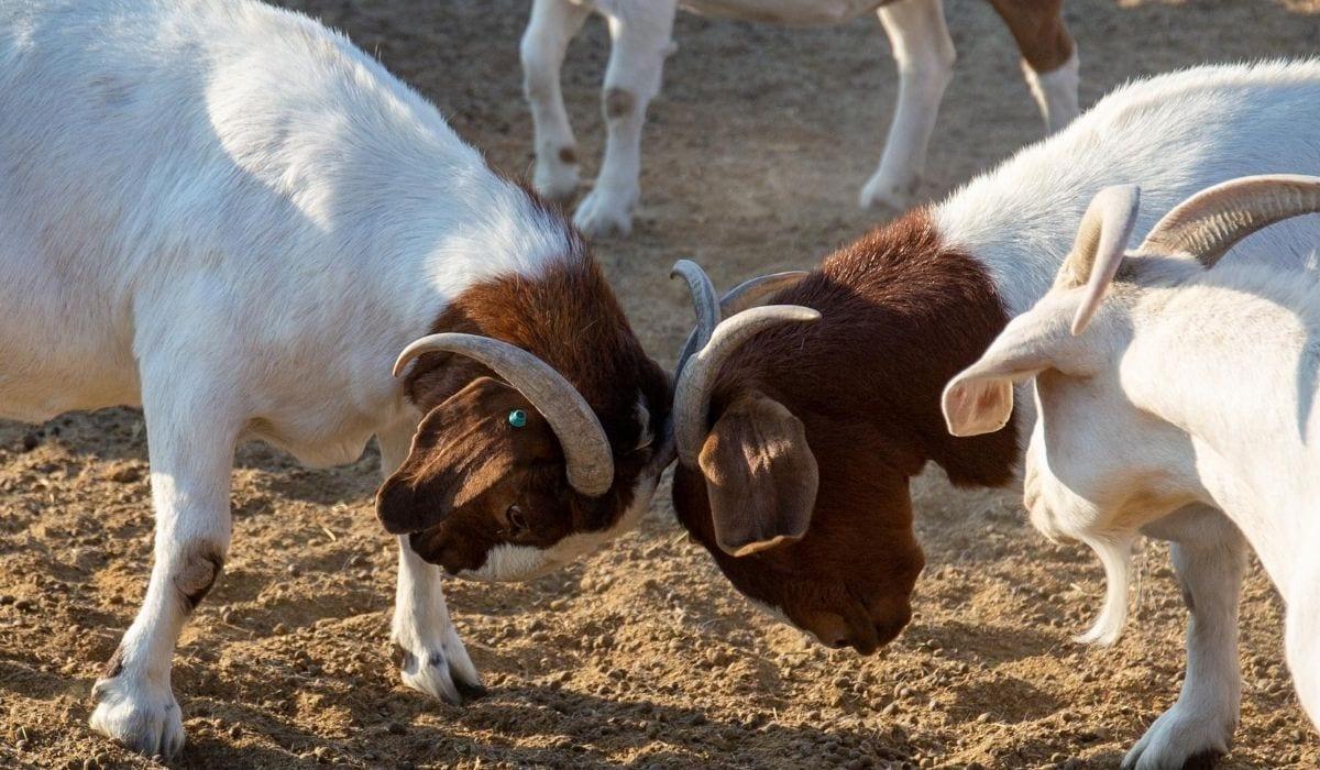 Goat Headbutting