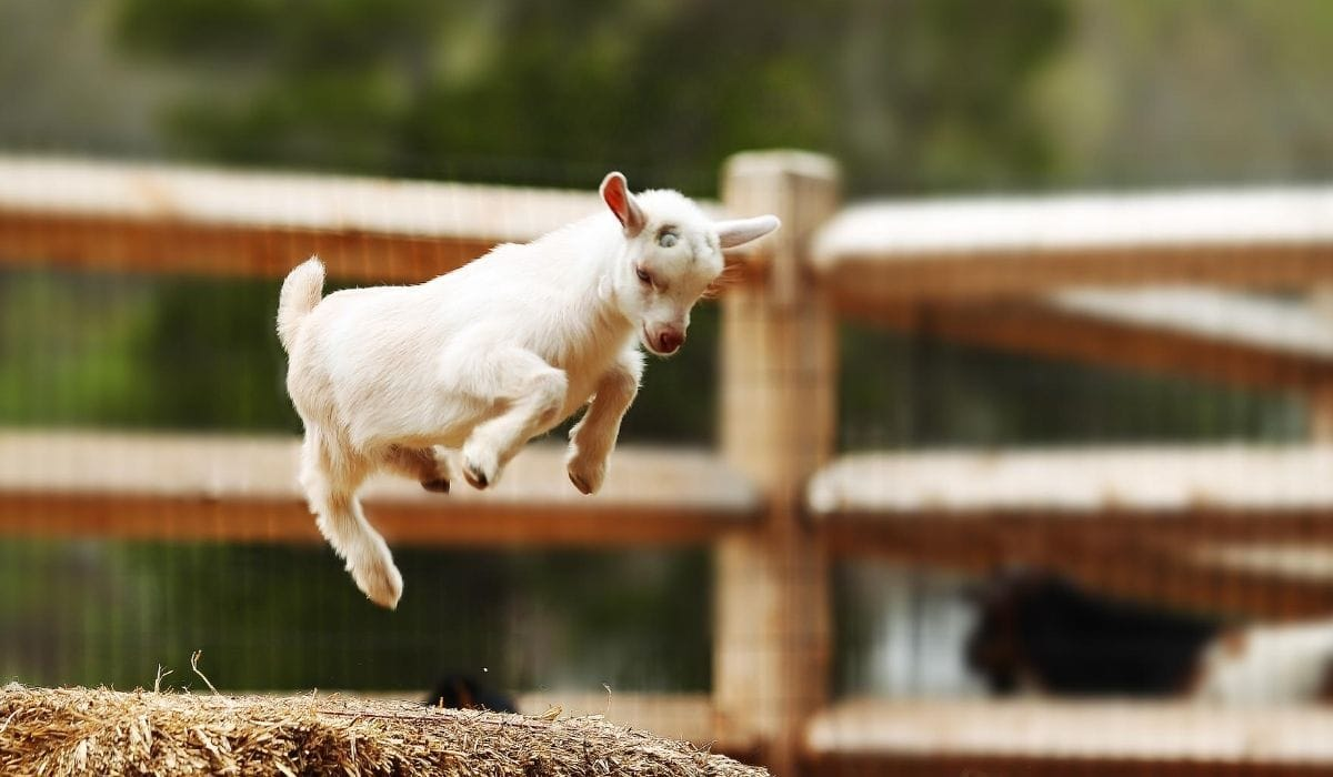 Goat Jumping Over