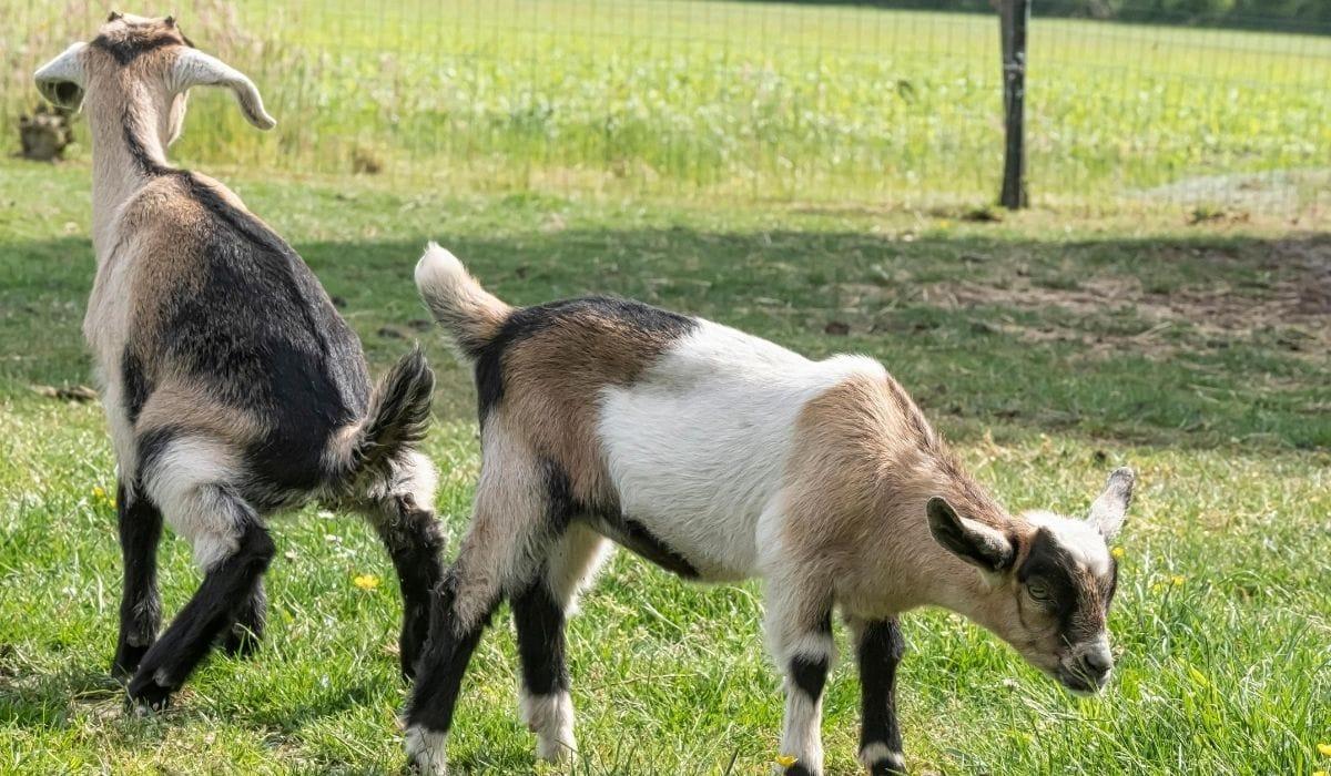 goat peeing