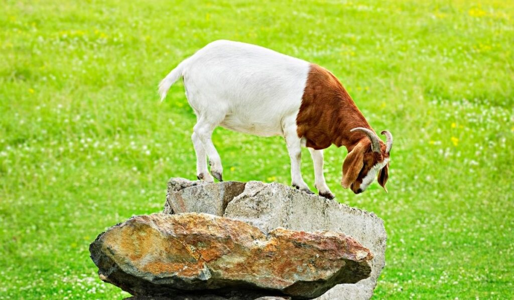 Goat Standing Above the Stone