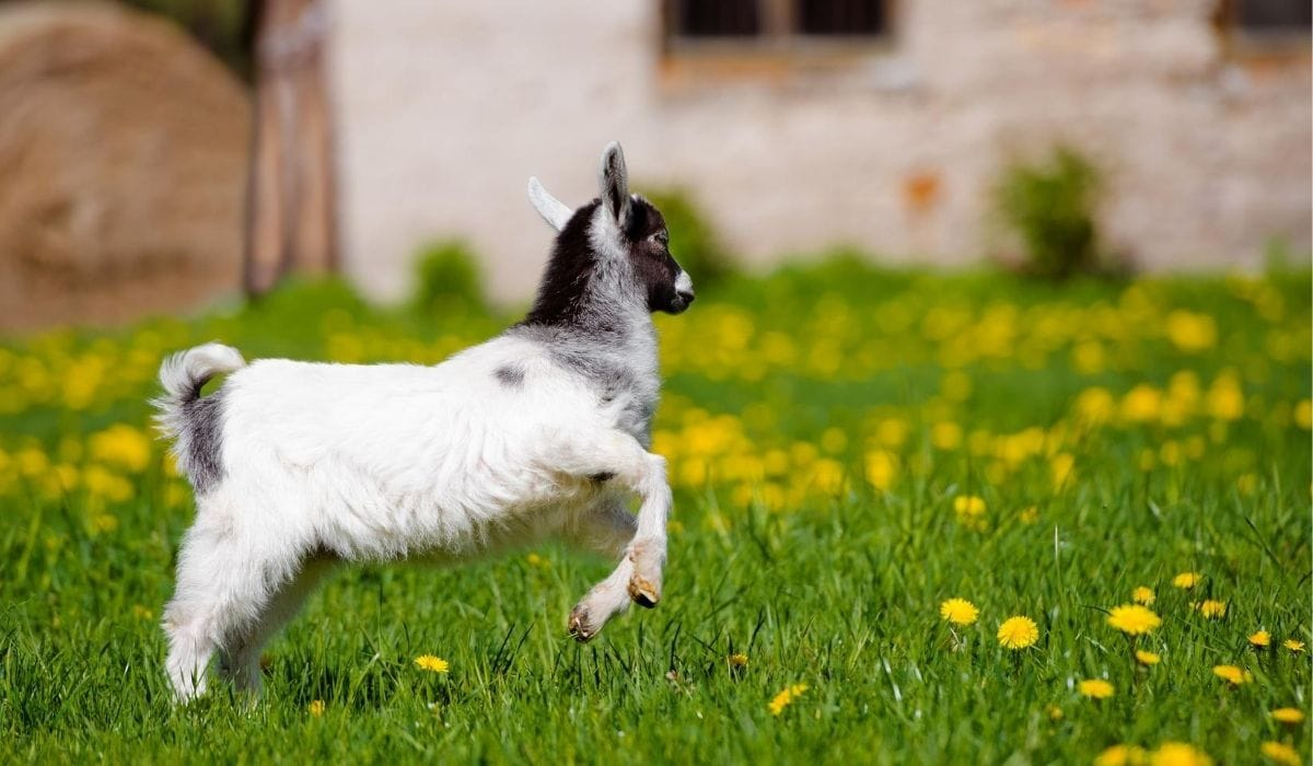 Goat Stomping in the Grass