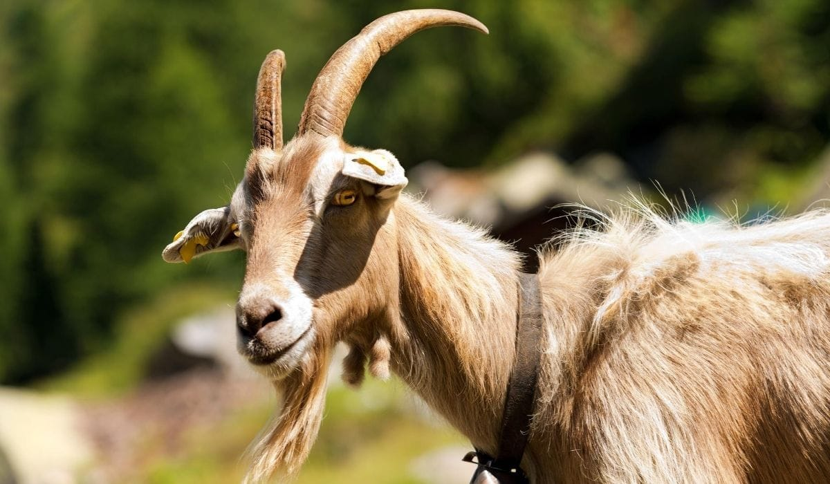 goat with horn