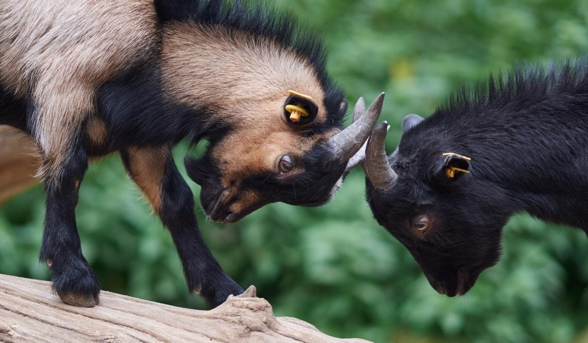 goats with horns fighting predator