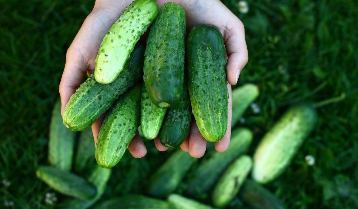 Holding Cucumber