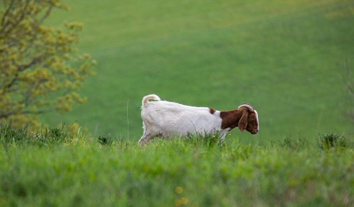 lonely goat in the field