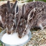Feeding Baby Rabbits - Is Cow Milk Safe?