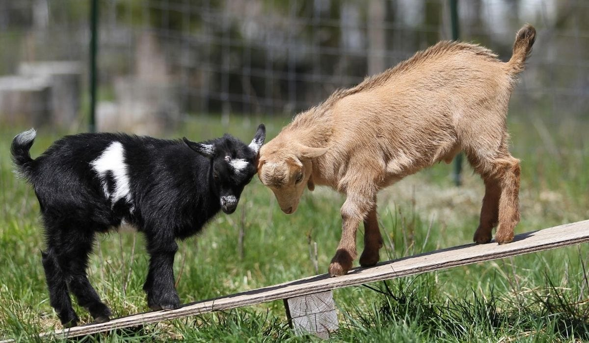 Two Baby Goat Playing
