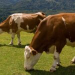Does a Cow Have Two Stomachs? A Look at Cow Digestion