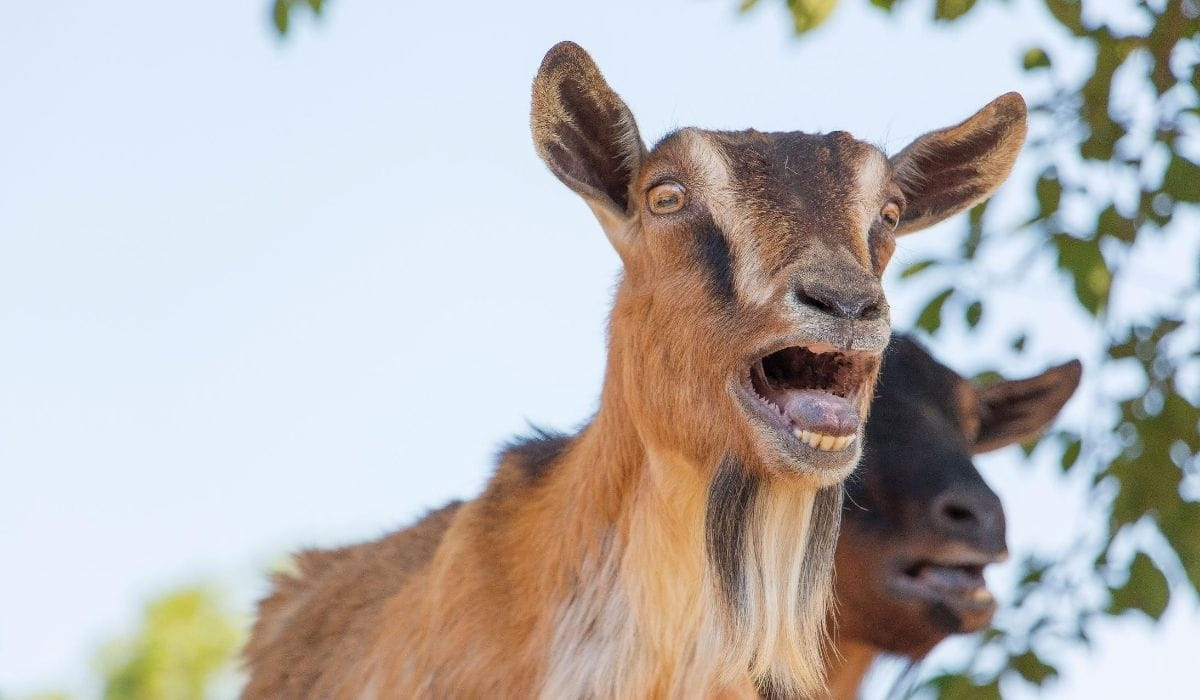 two goats opening their mouth