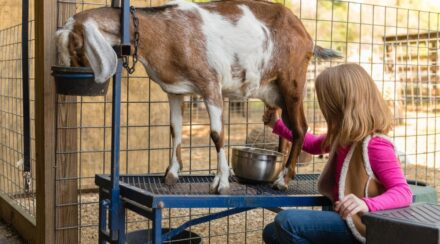 Helpful Facts About How Long Goats Produce Milk