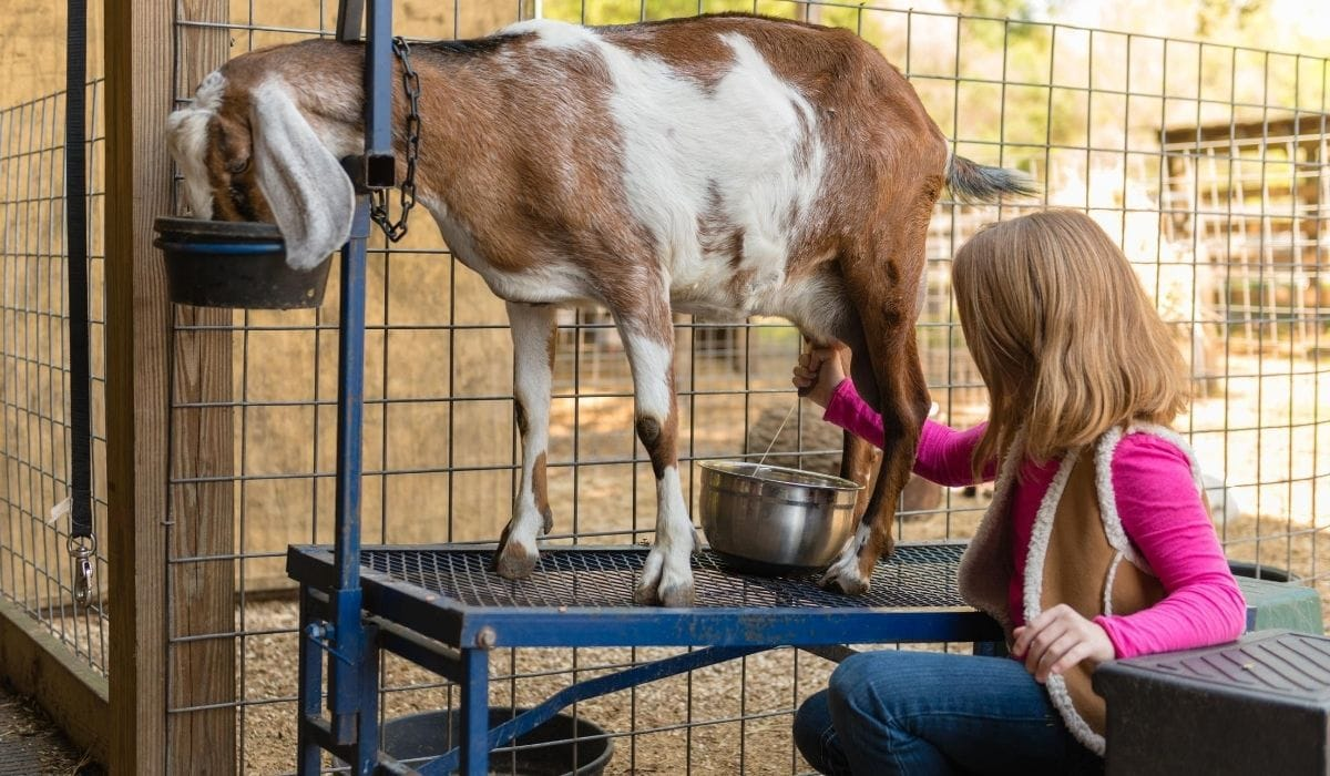 woman milking the goat
