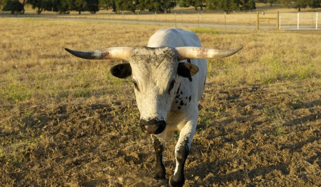 Angry cow ready to attack