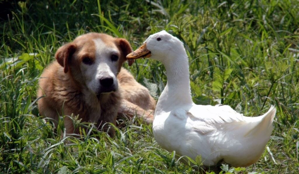 Dog and Ducks in Grass