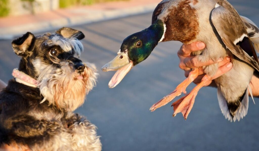 Duck Being Introduce to Dog