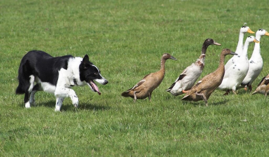 Ducks and Dogs