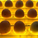 Can You Incubate Duck and Chicken Eggs Together?