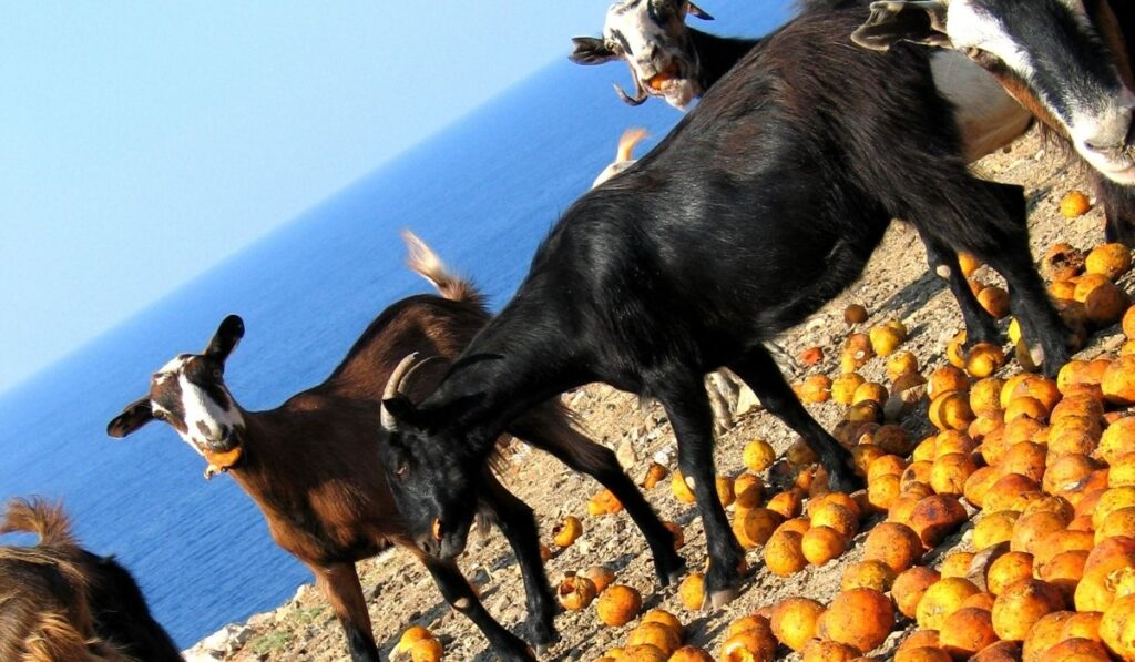Goat eating fruits