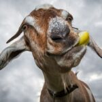 Why Does Goats' Breath Stink?