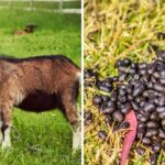 Goat's Poop Clumped - Should You Worry?