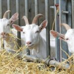 Goats Wasting Hay? Here's What to Do