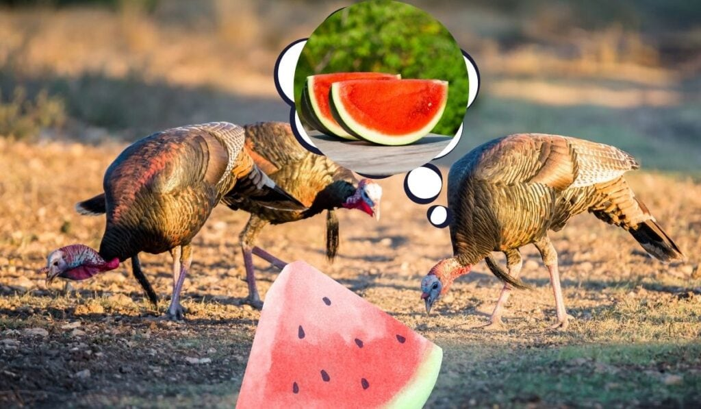 Turkeys Eat Watermelons