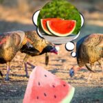 Can Turkeys Eat Watermelons? + Watermelon Treat Ideas