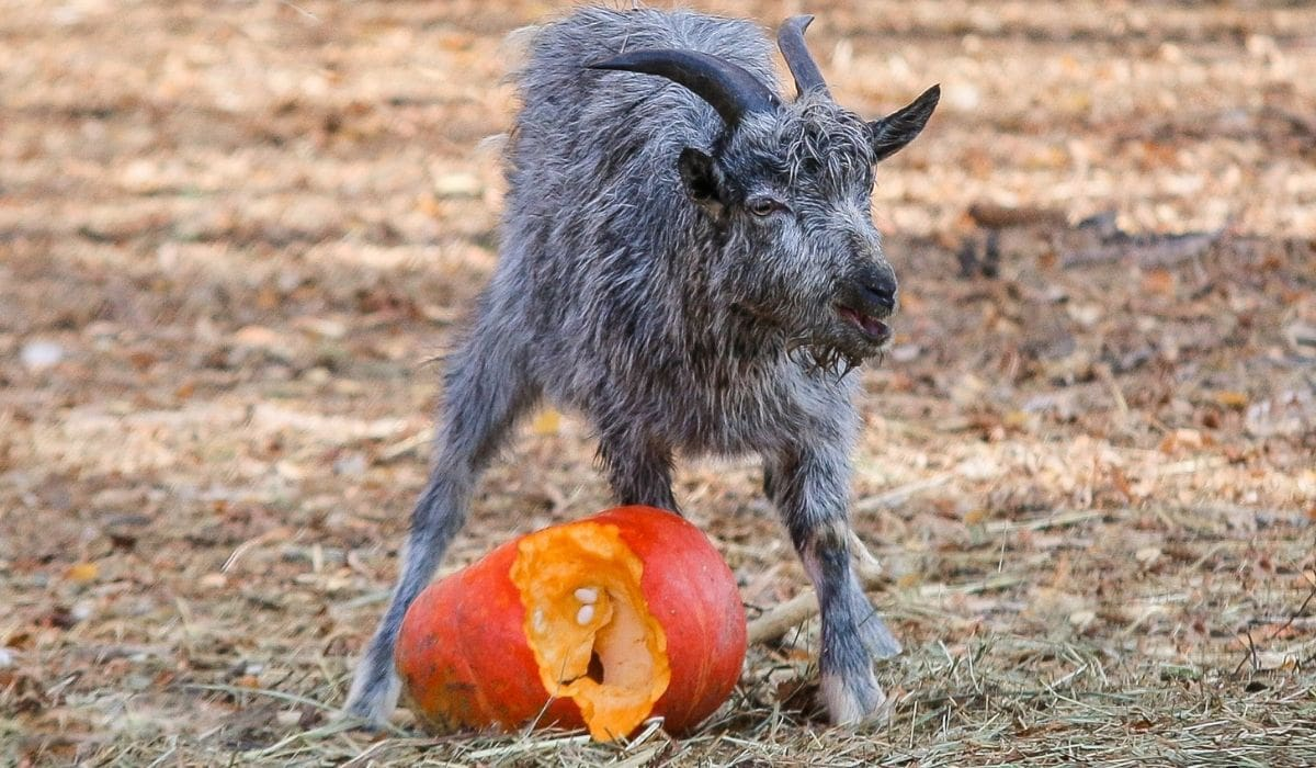 Baby Goat Eating Pumpkins