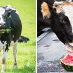 Can Cows Eat Watermelon?