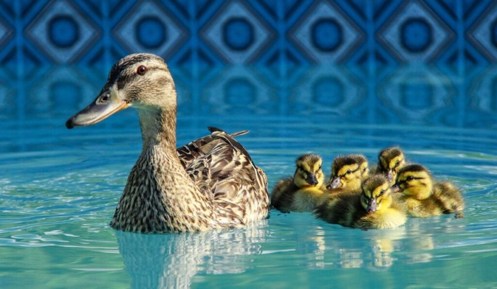 ducks swimming in a swimming pool