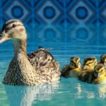 Are Chlorine Pools Safe for Ducks?
