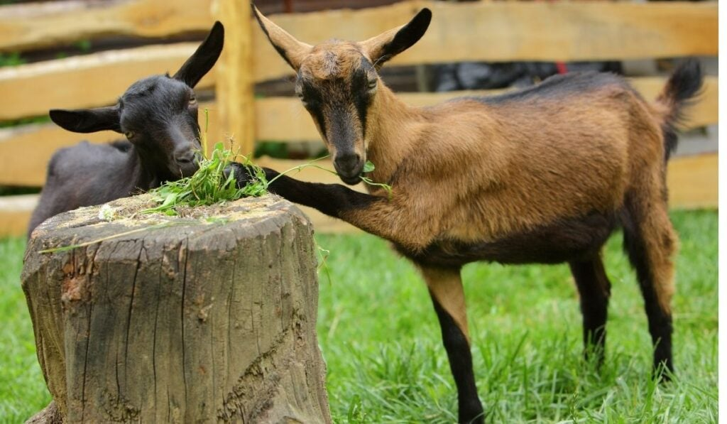 Two Goats Eating Grass