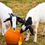 Can Goats Eat Pumpkins?