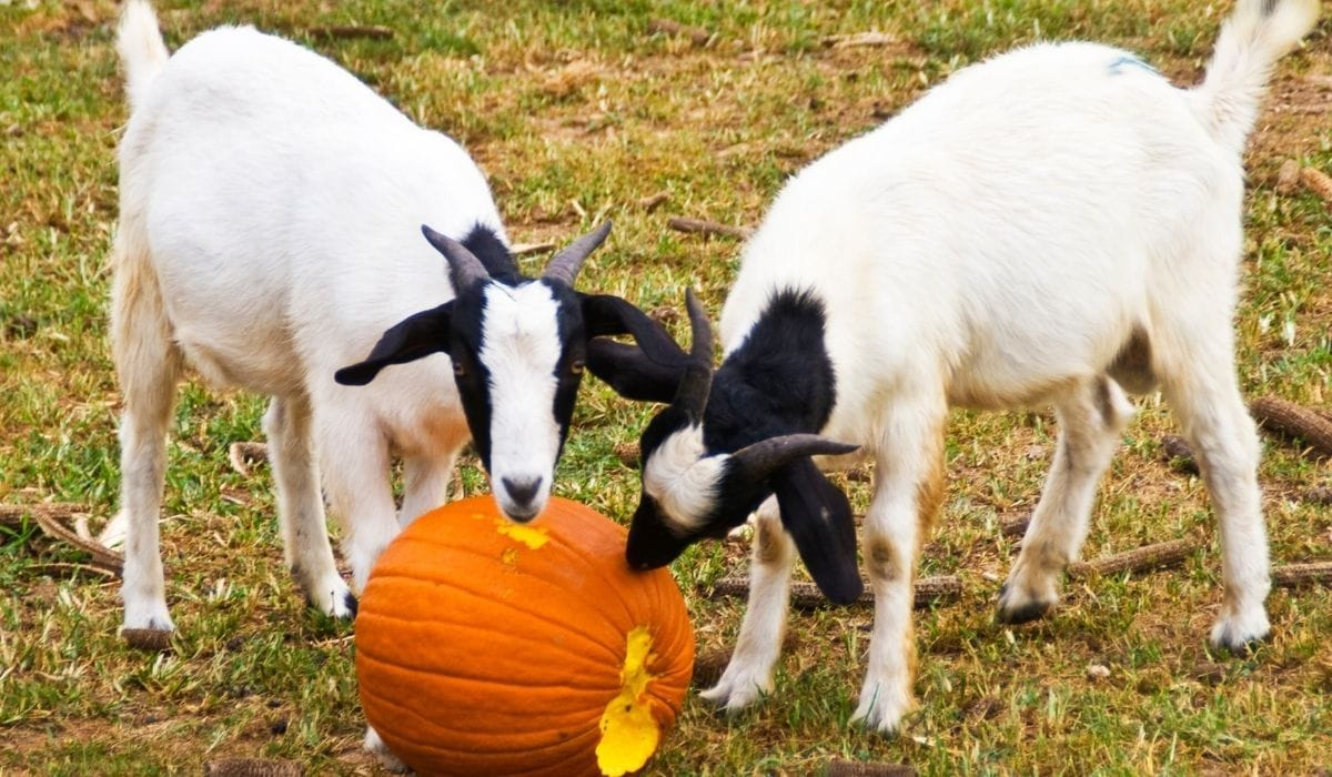 Two Goats Eating Pumpkins