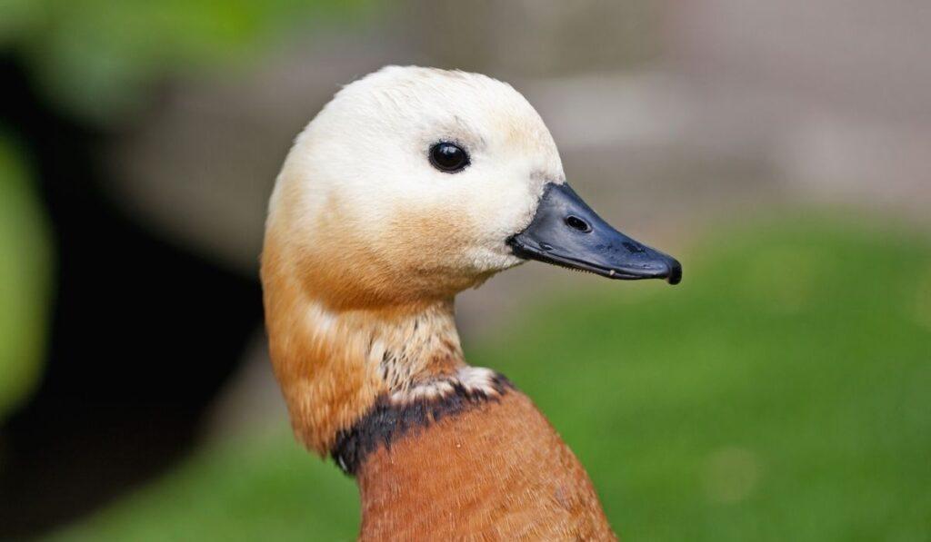 Beautiful Ducks Breeds