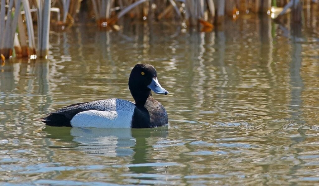 Black Duck Breeds