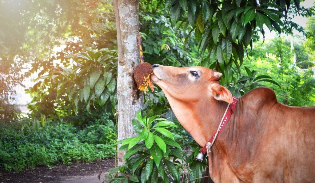 Cow eating fruits