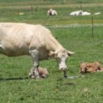 Should a Cow Eat the Afterbirth?