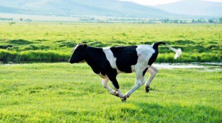 Do You Run Faster Than a Cow?