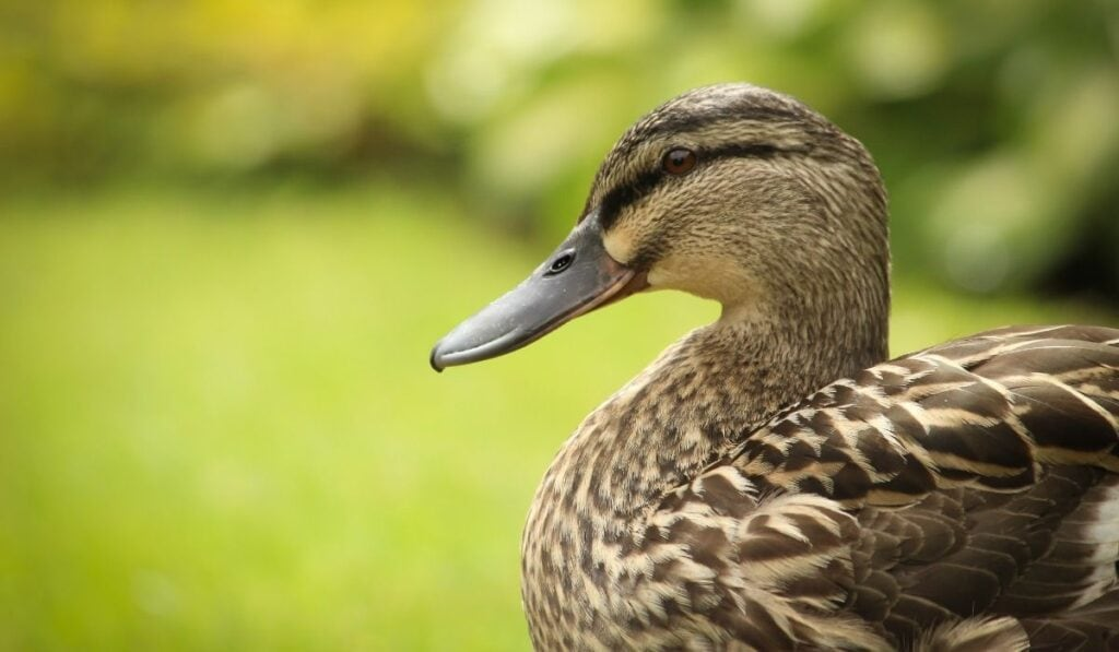 Duck Sideview