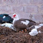 Can Duck Manure Be Used as Fertilizer?