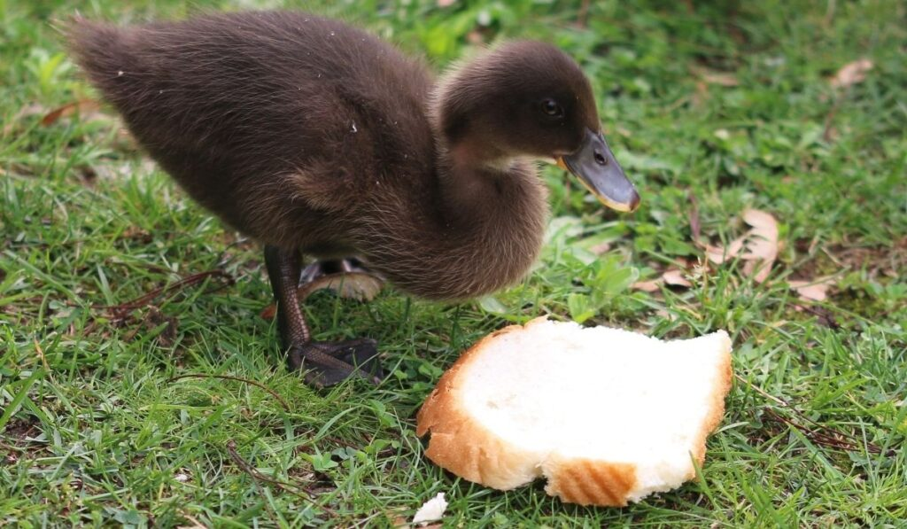 Duck and bread in grass