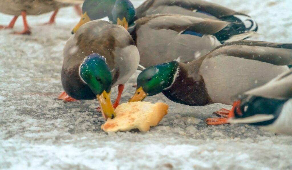 Ducks eating bread