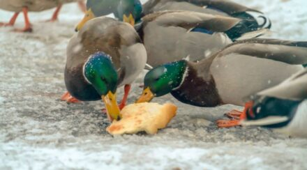 Can Ducks Eat Bread?