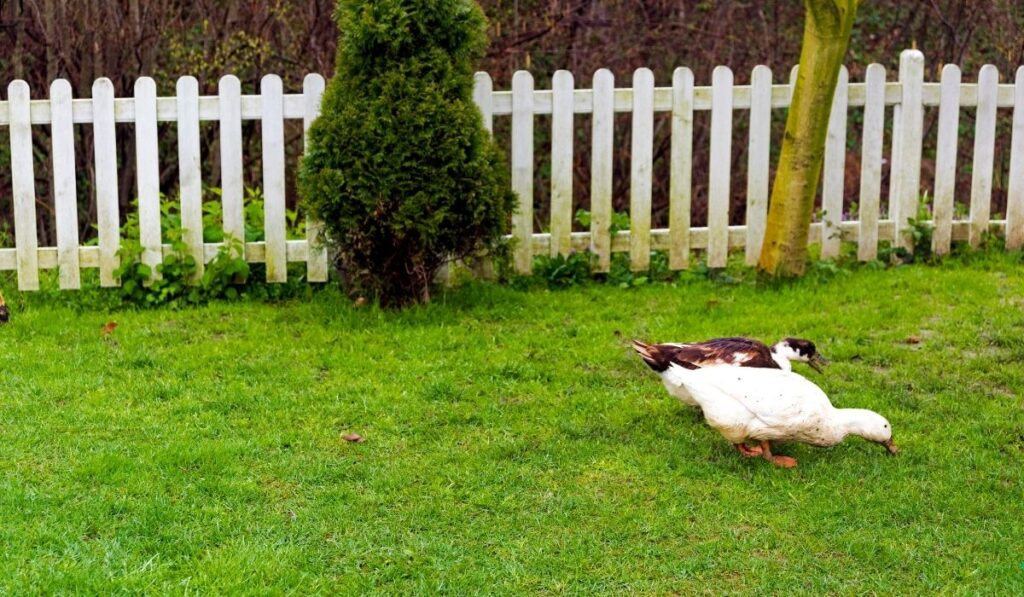 Ducks in garden