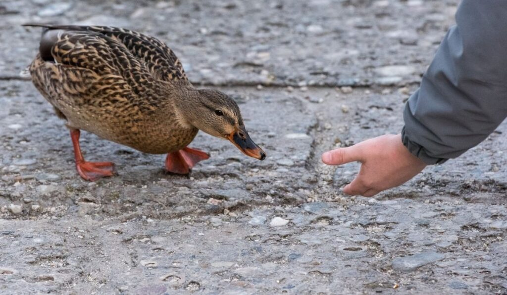 Ducks interacting with humans