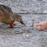 Can a Duck Be a Service Animal?