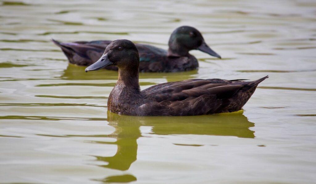East Indie Duck