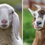 Does Goat Meat Taste Like Lamb?