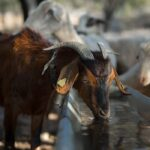 6 Tips for Providing Water to Your Goats