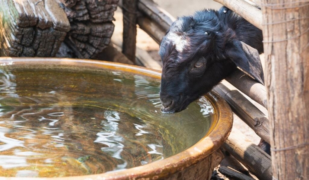Goat drinking from water barrel